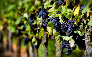 Photo of Monastrell grapes